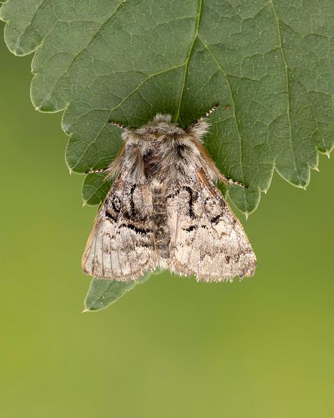 Nut tree tussock moth
