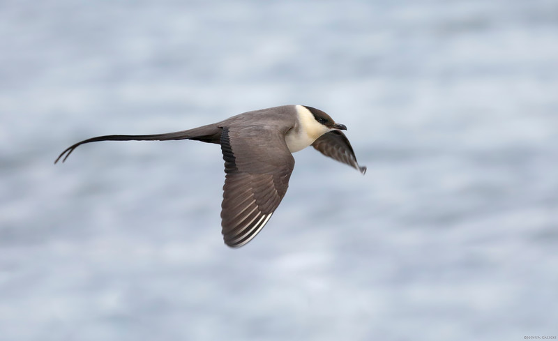 Long Tailed Jaeger in flight
