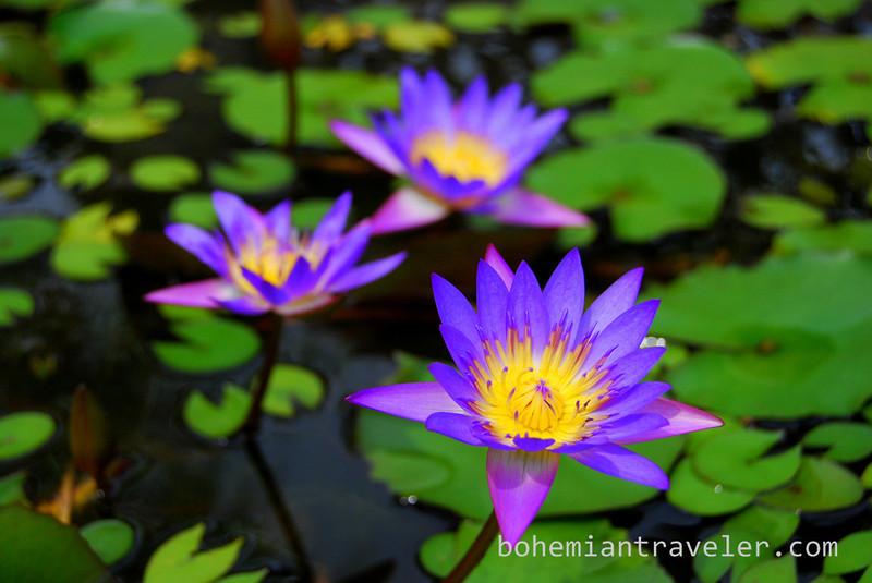 lotus flower (3).jpg