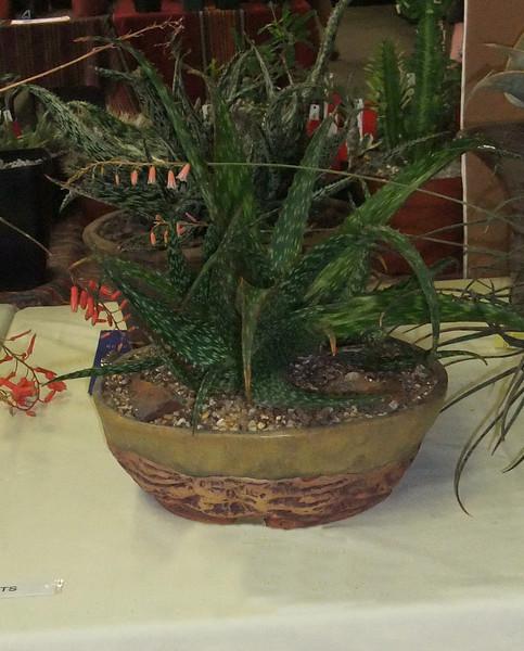 Aloe Hybrid