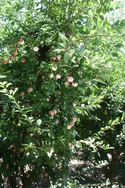 Dapple Dandy Plumcot