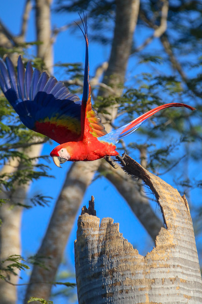 Majestic Ara Macaw - Scarlet Macaw - Ready to Fly