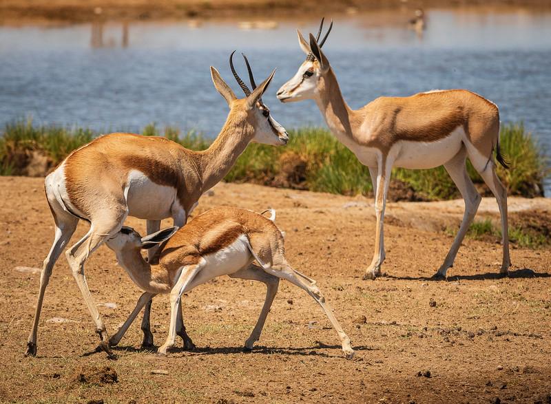Impala at Goas 2