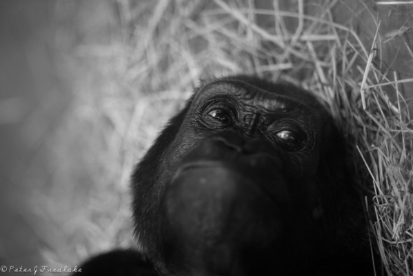 BW Apes