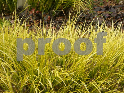 winter-doesnt-stifle-golden-acorus-color