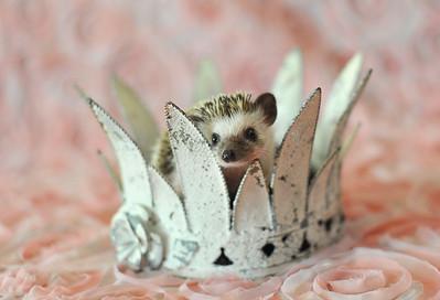 Princess Rose Hedgiehog