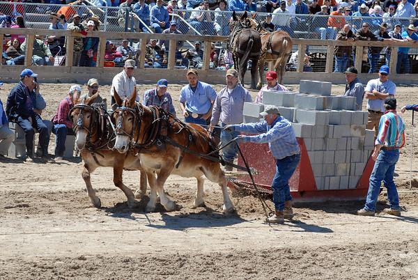 2011 Mule Pulling