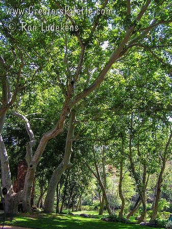 Platanus 'Wrightii' (Arizona Native Sycamore)
