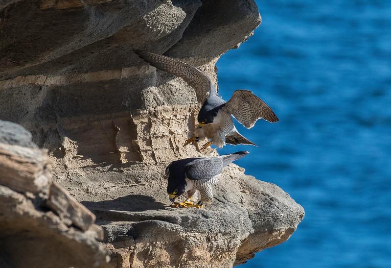Falcons mating3.jpg