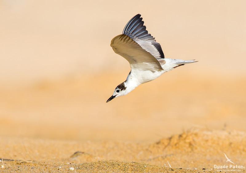 109-White-winged-Black-tern-Culburra,NSW-41214.jpg
