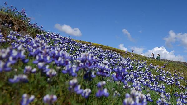 Photos | Exploring the California super bloom on Table Mountain