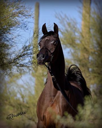 Terry Holmes Arabians