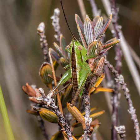 Conocephalus bilineatus