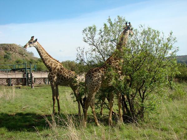 Kadriyes Safari
