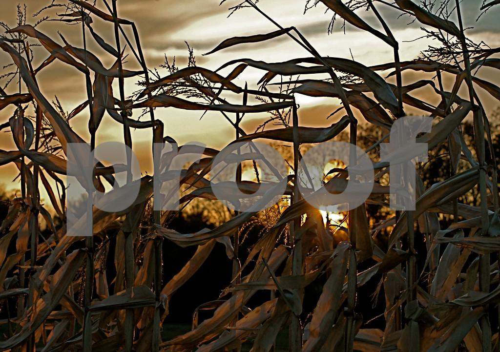 Autumn cornfield...