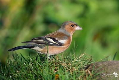 Male Chaffinch