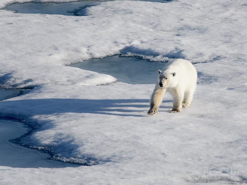 Bear on Ice Color.jpg