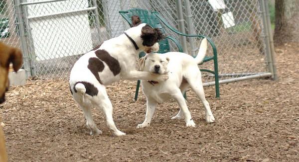 june 28 resize::Brandy & Roxy (puppy)