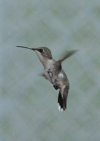 120728 Hummingbirds