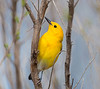 prothonotary warbler Lido Preserve Point Lookout