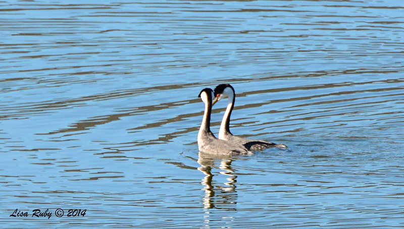 Pair of Western Grebes - 1/2/2015 - Lake Hodges, southeast trail (south of footbridge)