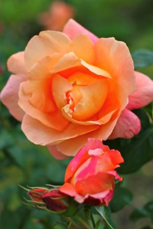 PDX Rose Garden Memorial Day 2012