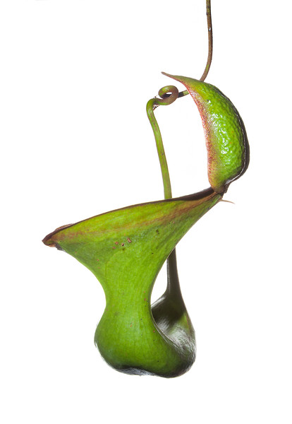 Low's pitcher plant (Nepenthes lowii)