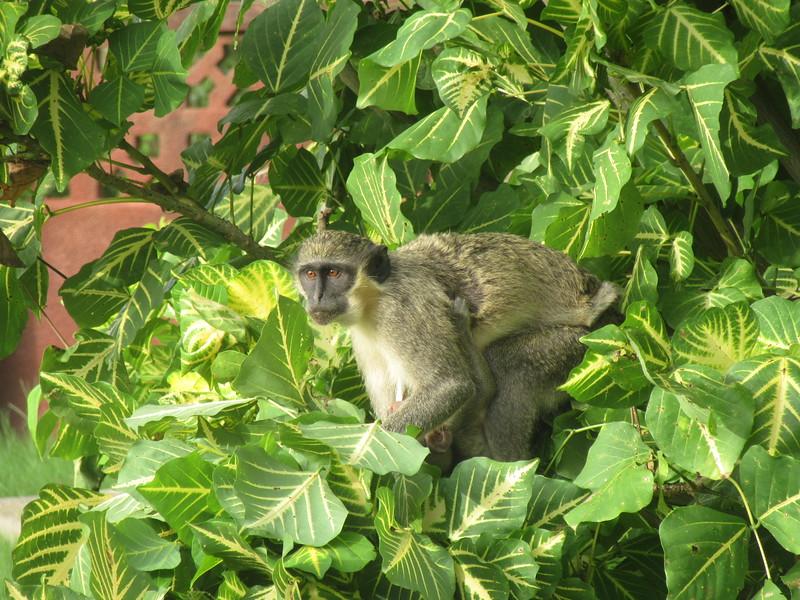 007_Serekunda. At my resort. Monkey.JPG