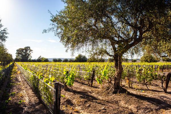 Eolo vineyard