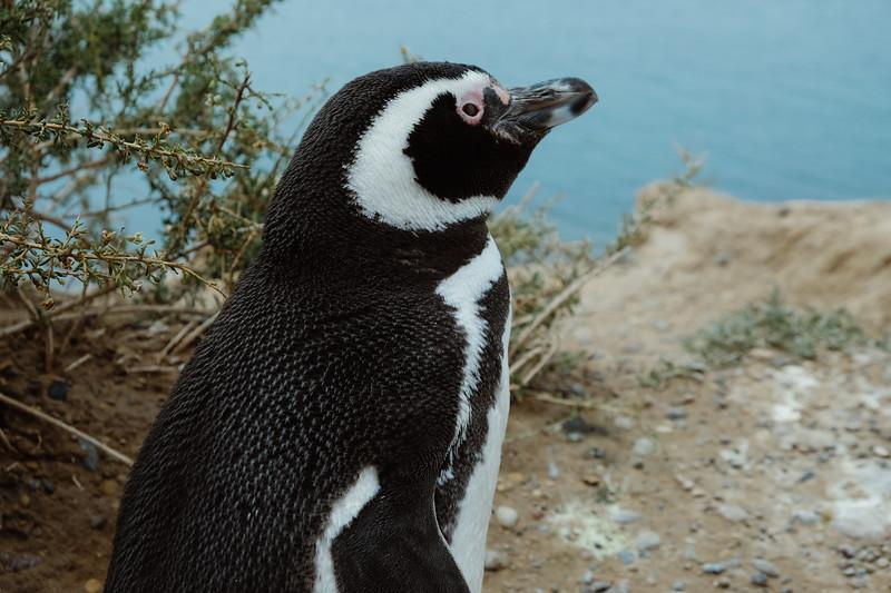 Hopeful Penguin