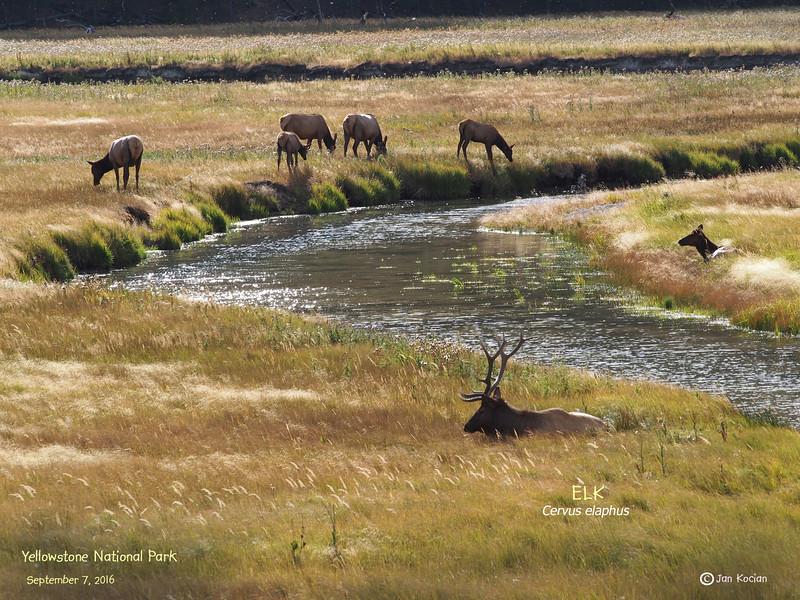 9.7.16 elk in grass .jpg