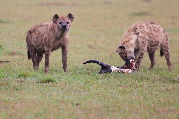 Hyena Mara Asilia 2014
