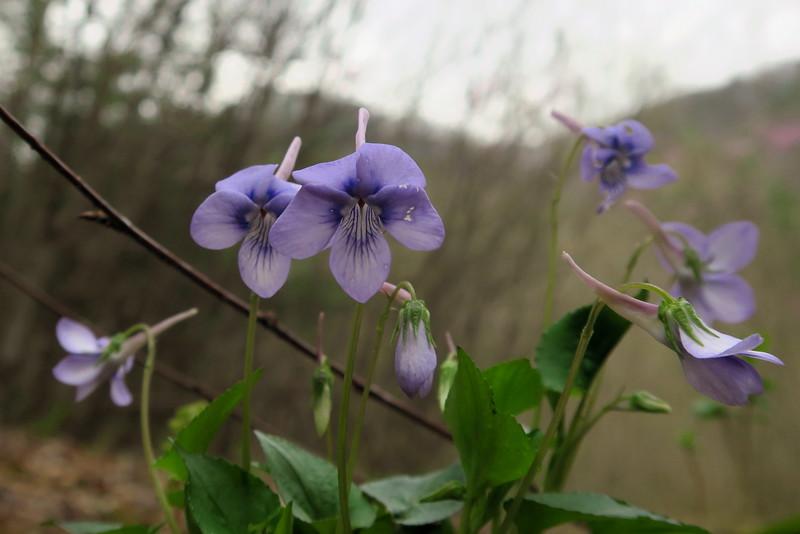 Longspur Violet