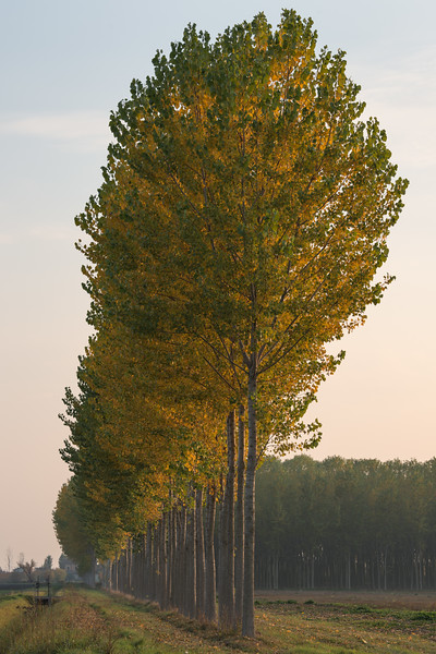 Poplars at Sunset - Correggio, Reggio Emilia, Italy - November 3, 2017