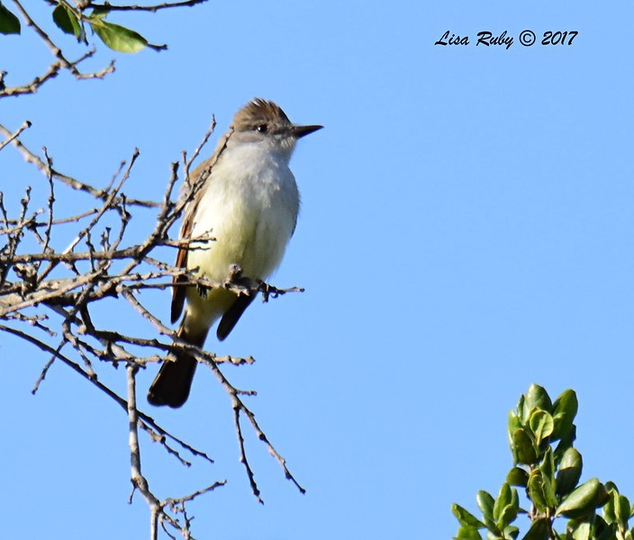 Ash-throated Flycatcher - 5/20/2017 - Sabre Springs