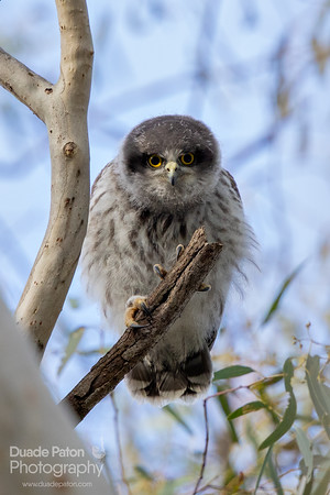 Hawk-Owls