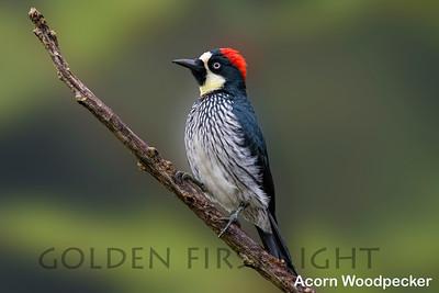 Acorn Woodpecker, Clark Park Molalla OR, USA