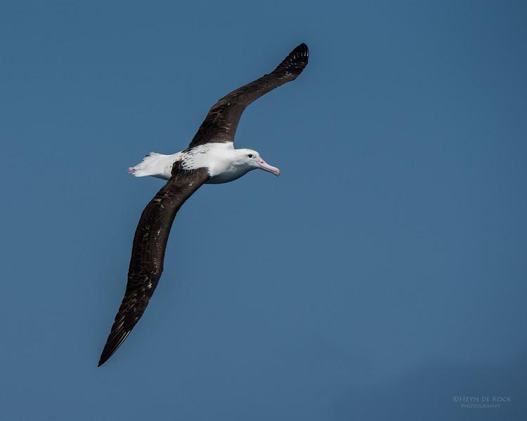 Northern Royal Albatross, Wollongong Pelagic, NSW, Aus, Oct 2014-5.jpg