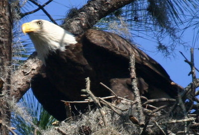 Bald Eagles in Flight and Nesting