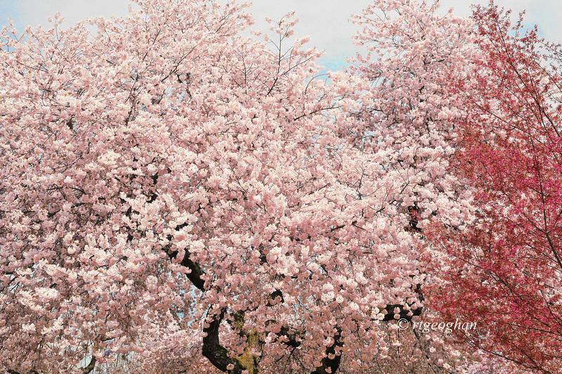 April 16_BranchBrookCherryBlossoms_7404t.jpg