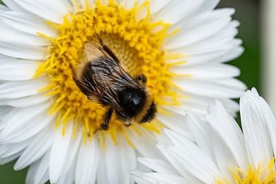 181202_bumblebee_large
