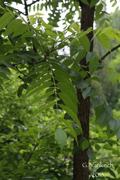 Juglandaceae (Walnut) Family