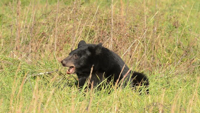 black_bear_02.mov