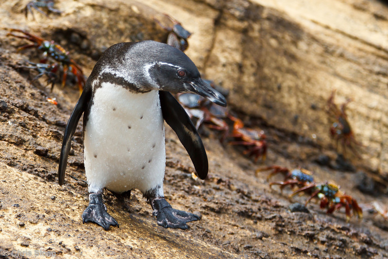 Galapagos Penguin at Punta Vicente Roca, Isabela, Galapagos, Ecuador (11-24-2011) - 838.jpg