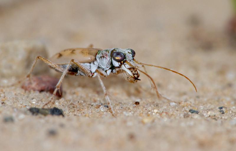 Ellipsoptera lepida Ghost Tiger Beetle Sauk Prairie Recreation Area WI  IMG_0311.jpg