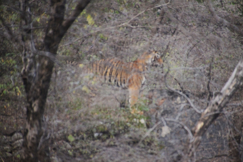 Bengal tiger at fifty yards away in Ranthambore