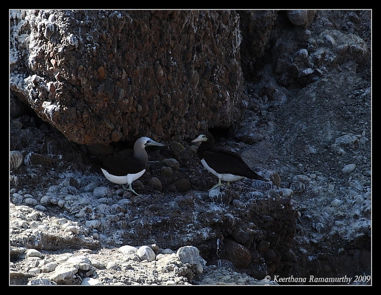 Brown Booby Pair, Islas Coronados, Mexico, March 2009