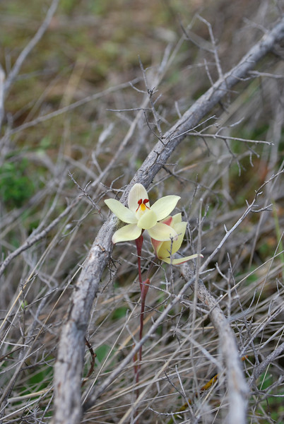 Thelymitra antennifera - Rabbit Ears - Lemon Orchid