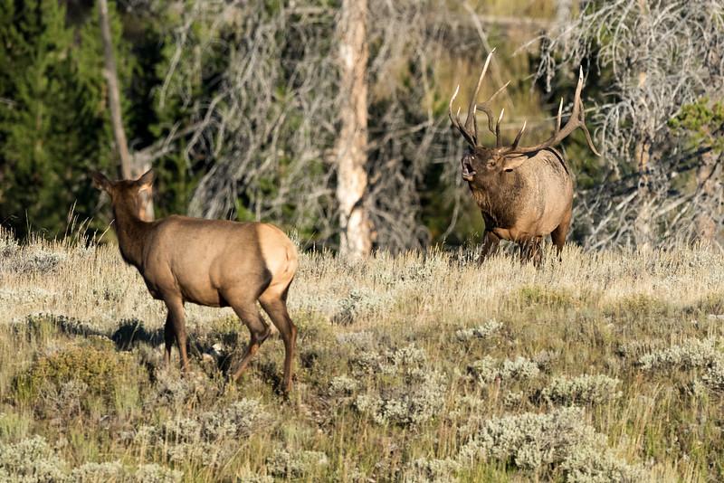 Elk-Gardiners-Hole-4.jpg