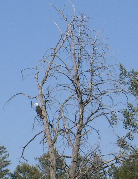 bald eagle near trout lake.jpg